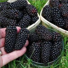 100 Jumbo Thornless Blackberry Seeds Delicious Impressive TT066