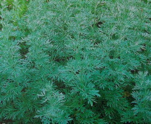 PERENNIAL HERB Artemisia absinthium Wormwood 500 SEEDS