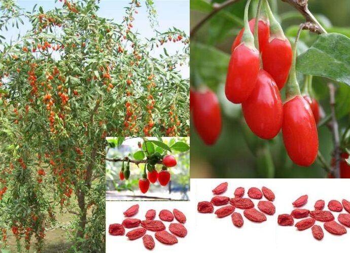 Plant de Goji Berry Lycium Barbarum Wolfberry Fruit Plante Vivace Jardin Balcon