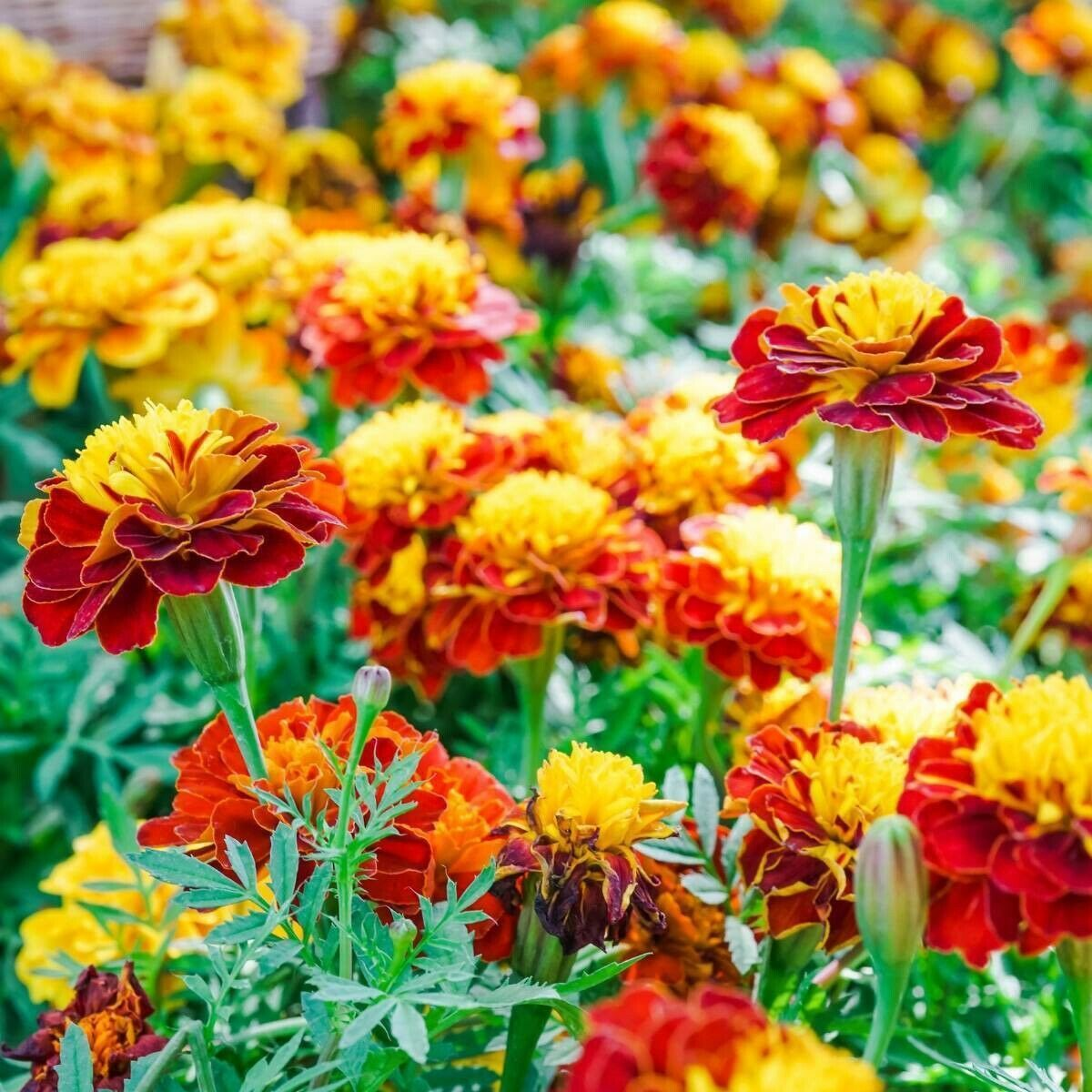Marigold (French Bonita) Seeds 😁 300+ Instruc Included.Free :)Postage In Aus x