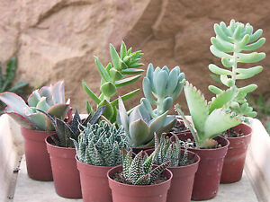 lot de 6 succulentes en pots de 8 5 cm cactus plante grasse succulente ebay. Black Bedroom Furniture Sets. Home Design Ideas