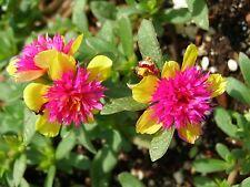 "5 Perennial Purslane Grandiflora ROOTED CUTTINGS ""Fairy Princess"" - Succulent"
