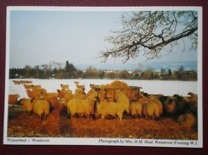 POSTCARD-BUCKINGHAMSHIRE-WENDOVER-WINTER-FEED-FOR-THE-SHEEP