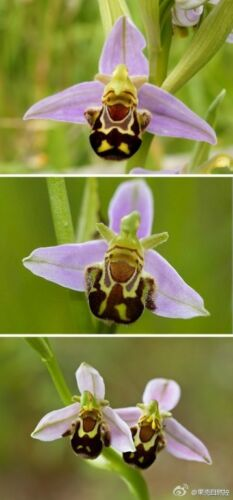 # 132 20pcs Bee Orchid Flower Seed