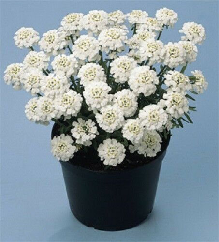 THLASPI//Evergreen vivace//50 graines Iberis sempervirens /'Snowflake/'