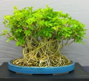 Umbrella Tree Parasol Schefflera Fresh Seeds Ideal Bonsai Tree Indoor Plant Ebay