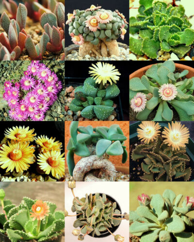 ALOINOPSIS MIX  succulent mesembs mixed living stones rock plant seed  100 SEEDS
