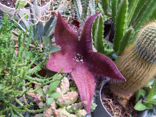Carrion Plant Stapelia Grandiflora One déracinés de coupe