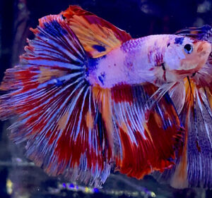 Live Betta Fish Male Import Fancy Star Burst Of The Sun Halfmoon Betta #706