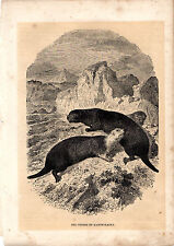 CASSELL'S MAMMALS - KAMTSCHATKA SEA OTTERS - 150 YEARS OLD WOOD ENGRAVING