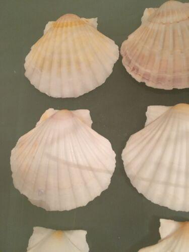 10x Large Natural Pétoncles Plat coquillages lavé blanc pur 9-11 cm Noël Starter
