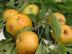 Suebelle Sapote Tropical Fruit Trees