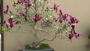 10pcs Magnolia Michelia Flower Tree Seeds Rare Yulan Kind Viable Bonsai Potted Ebay