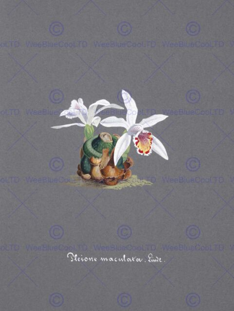 PAINTING BOOK PAGE ORCHID PLEIONE MACULATA LARGE ART PRINT POSTER LF1488