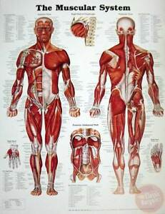 The-Male-Muscular-System-Anatomical-Chart-Poster-20-034-x-26-034-NEW-man-anatomy