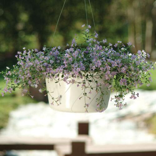 Bacopa Bluetopia Multipellets Kings Seeds - 10 Seeds