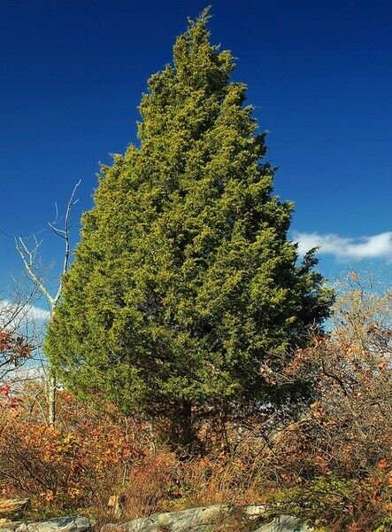 Eastern Red Cedar Juniper Juniperus virginiana 10 Seeds (Free US Shipping)