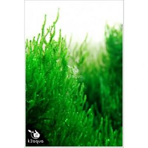 Moss-44-varieties-of-aquatic-moss-Live-Aquarium-Plants-for-Shrimp-Tank