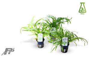 Live plantes d'aquarium-fougères et Bolbitis-très facile-fougère de java-microsorum