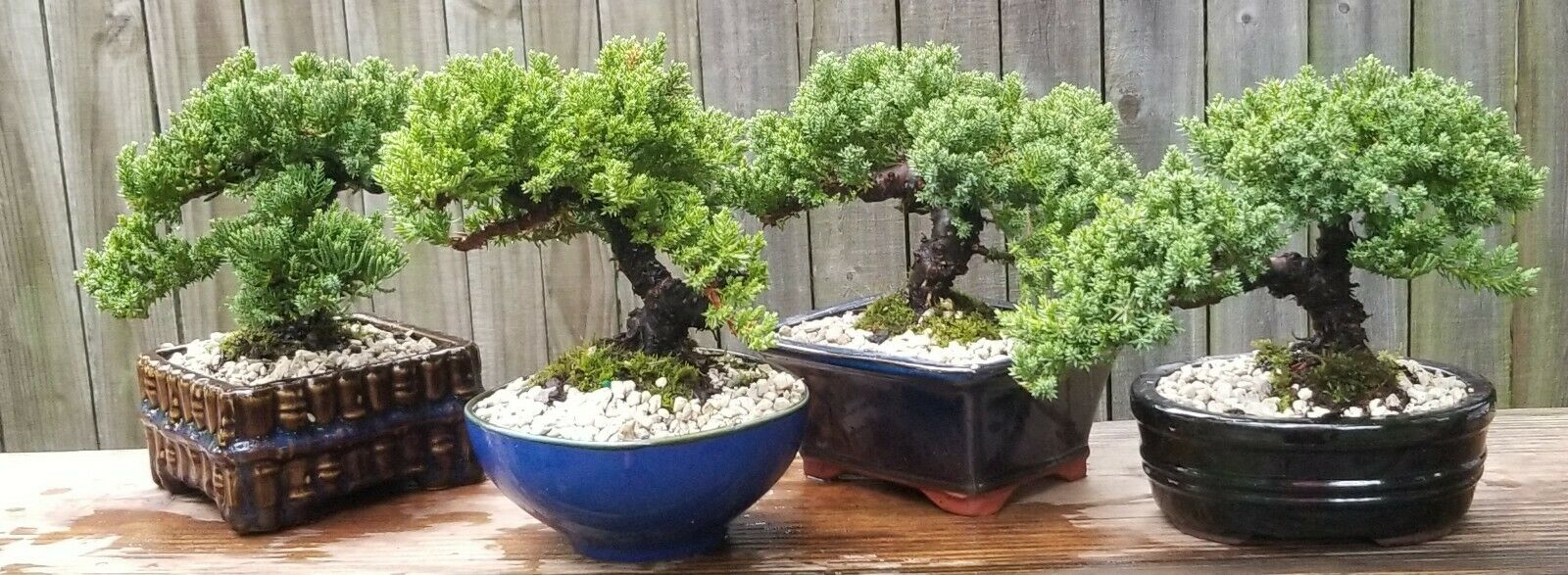 Juniper Bonsai Tree Black Pot With Accenting Rock Pebbles Indoor House Plant For Sale Online Ebay