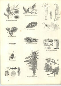 1854-Engravings-Leaf-Mining-Maggot-Water-Grub-Dissected
