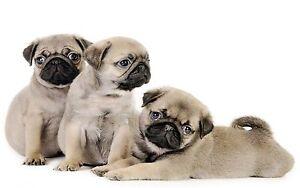 Pug-Puppies-Canvas-Print-A1-30-034-x-20-034