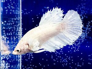 Betta Fish Live - Dumbo White Halfmoon Female - Spawn: 10/5/2020   U.S.Breeder