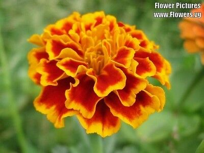400 FRENCH MARIGOLD SPARKY Mixed Colors Calendula Flower Seeds + Gift & Comb S/H