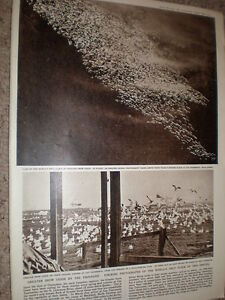 Photo-article-world-039-s-only-flock-greater-snow-geese-Cap-Tourmente-Canada-1959