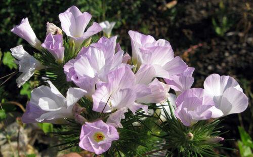 "Berg Phlox Linanthus grandiflorus 50 exotische Samen /""ALLES NUR 1 EURO/"""