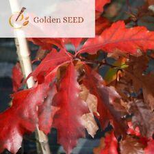 Oak Quercus rubra tree acorn seeds red oak 10 seeds