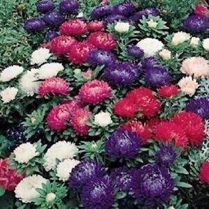 Aster-Seeds-Callistephus-Dwarf-Milada-Mix-100-FLOWER-SEEDS
