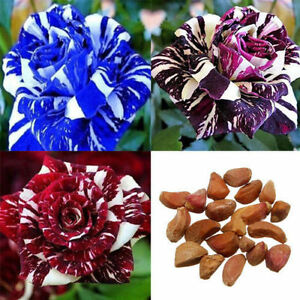 30pcs-Rare-Dragon-Rose-Flower-Seeds-Home-Garden-Plants-Seeds-Flower-Seeds