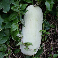 China Waxgourd Seed 10 Seeds Benincasa Hispida White Gourd Garden Seeds Hot C083