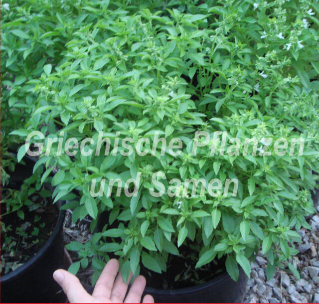 🔥griechischer kleinblättrige Basilikum riesige Büsche 50 frische Samen Kräuter