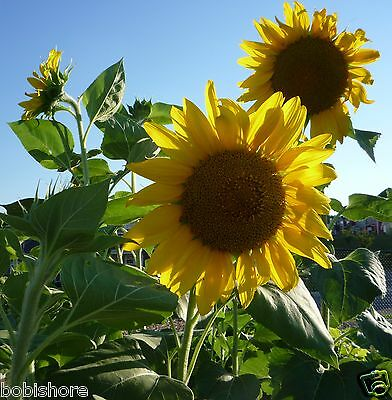 FREE POST AUSTRALIA Giant Yellow Sunflower Seeds Exotic Unusual Flower Seed