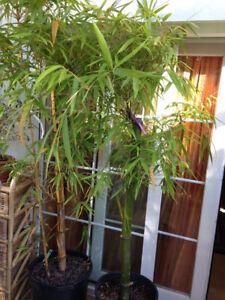 Riesen-Zierbambus-Moso-Bambus-50-Samen-Winterhart-Idealer-Sturmschutz