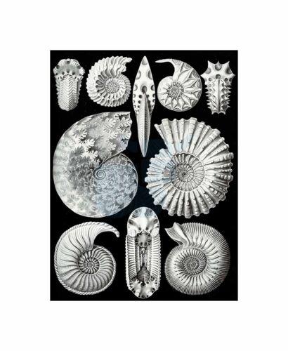 Plate Ernst Haeckel Kunstformen Der Natur Ammonites Canvas Print