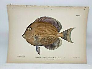 Original-Antique-Lithograph-Fishes-Puerto-Rico-Bien-1899-Plate-38-Blue-Tang