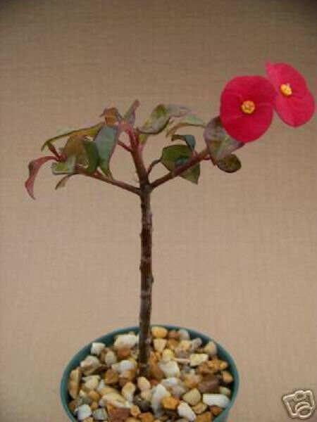Euphorbia Geroldii @@ Spineless Red Flower Rare Succulent