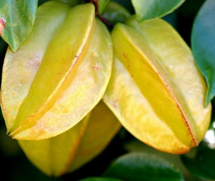 how to grow star fruit trees from seeds
