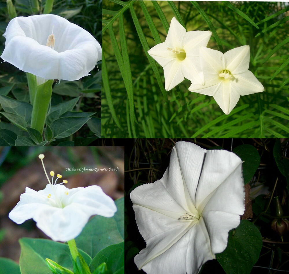 Night Garden 1 Fragrant White Flowers 4 Packs Price 3 Ebay
