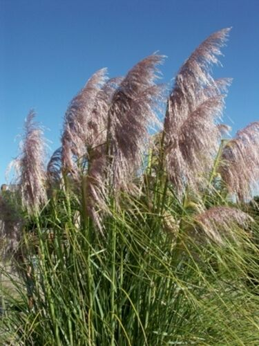 cortaderia selloana pink feather pampas grass 50 seeds. Black Bedroom Furniture Sets. Home Design Ideas