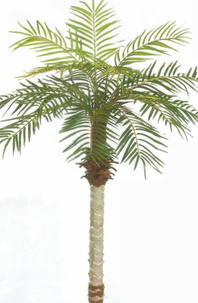 How to grow a date tree from seed
