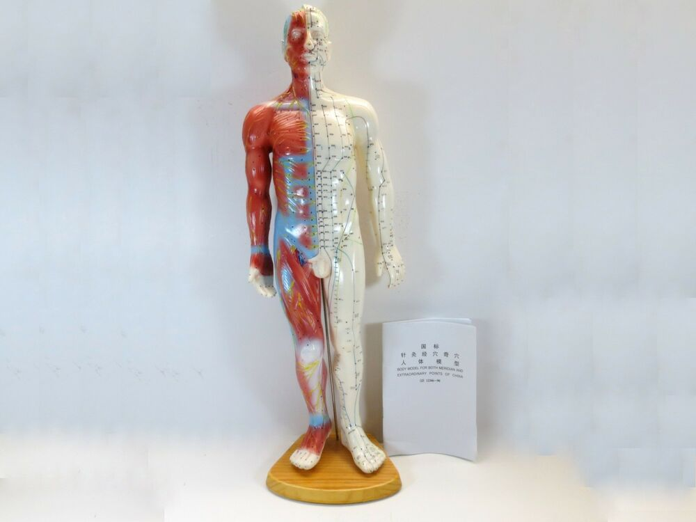 Professional Educational Acupuncture Muscle 22\