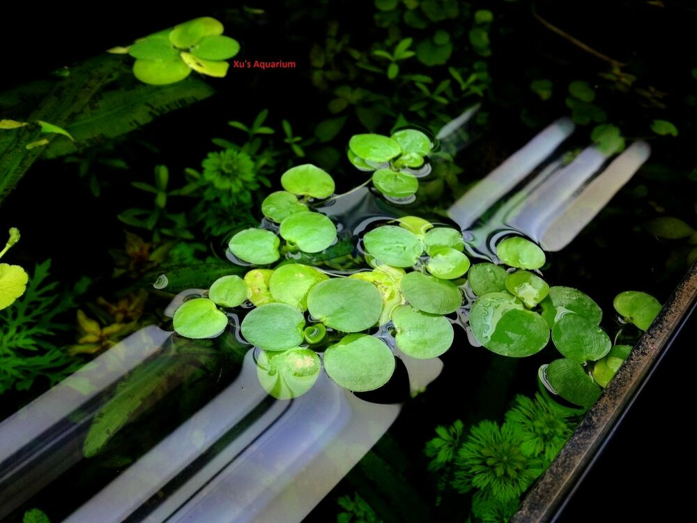 Amazon frogbit limnobium laevigatum live aquarium aquatic for Floating pond plants