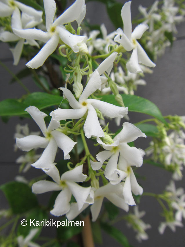 trachelospermum jasminoides duft sternjasmin pflanze 30 50cm frost 15 c ebay. Black Bedroom Furniture Sets. Home Design Ideas