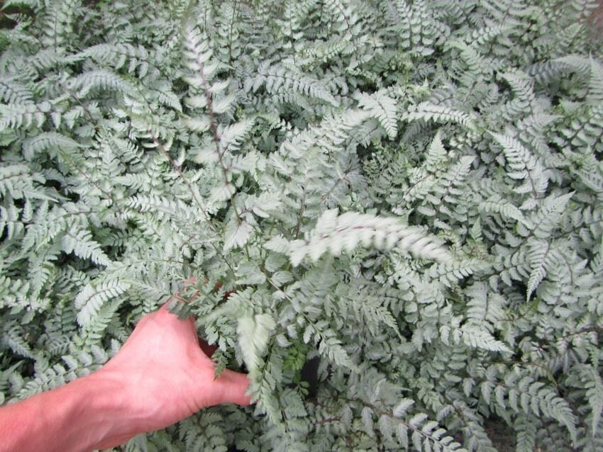athyrium nipponicum silver falls schmuck farn 15 25cm pflanze winterhart ebay. Black Bedroom Furniture Sets. Home Design Ideas
