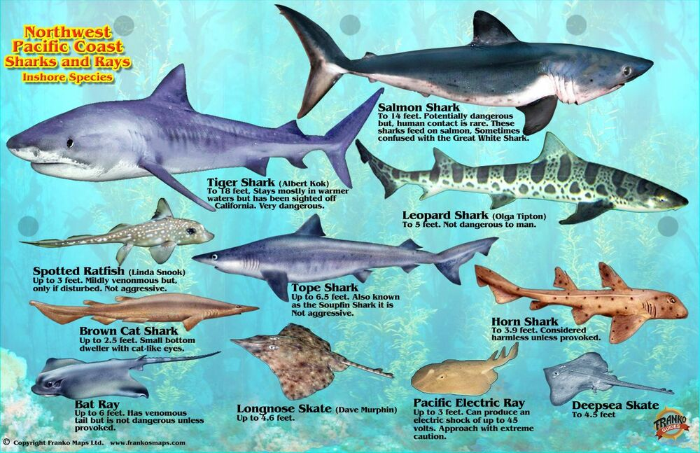 Northwest pacific coast sharks rays guide laminated fish for Pacific fish company