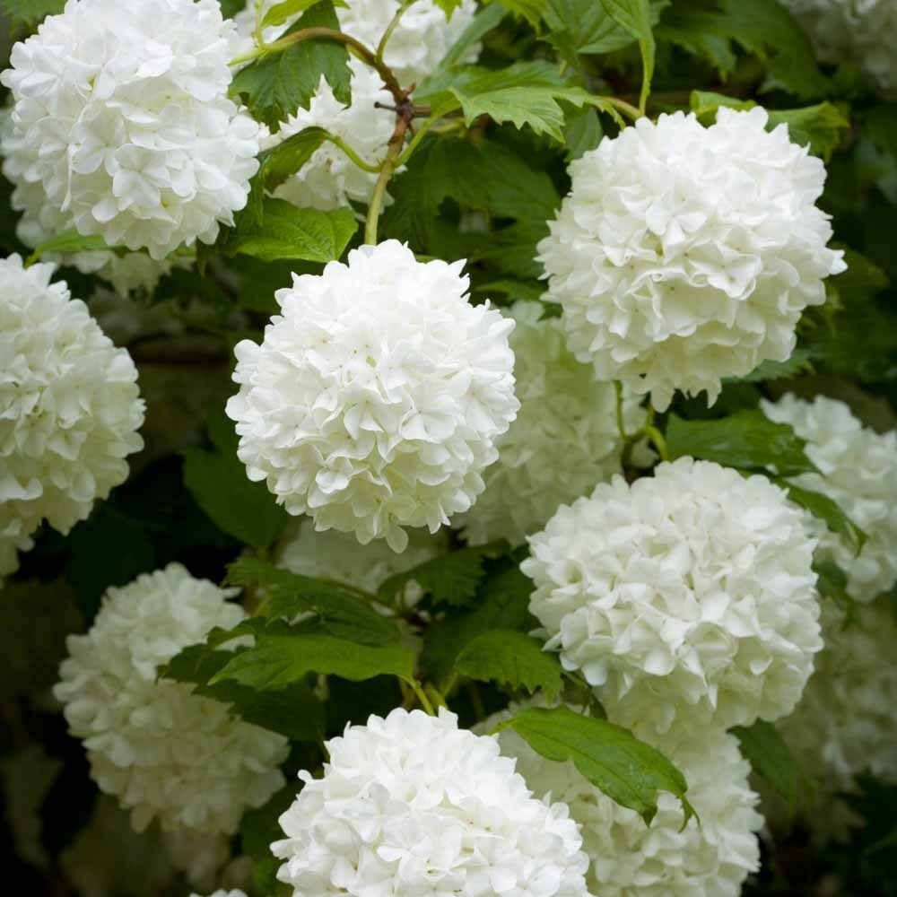 viburnum opulus roseum snowball bush ebay. Black Bedroom Furniture Sets. Home Design Ideas